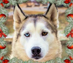 Gabriel | Holiday Dog!