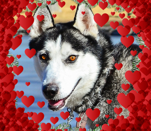 Jeter   Valentine Dog!